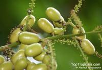 Pometia pinnata, Nephelium pinnatum, Dabanus acuminatus, Dabanus pinnatus, Euphoria pometia, Fijian Longan, Island Lychee, Oceanic Lychee  Click to see full-size image