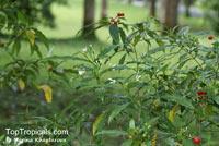 Rauvolfia kamarora, Pule Pandak  Click to see full-size image