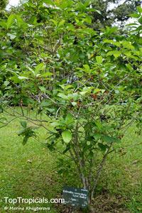 Rauvolfia verticillata, Cerbera chinensis, Dissolaena verticillata, Ervatamia ophiorhizoides, Rauvolfia yunnanensis, Tabernaemontana densiflora, Devil Pepper  Click to see full-size image