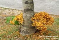 Saraca cauliflora, Saraca thaipingensis, Yellow Saraca Tree  Click to see full-size image