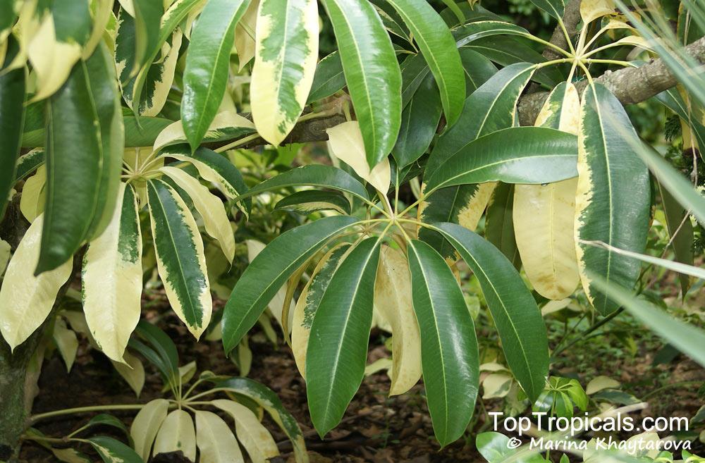 Schefflera sp schefflera brassaia dizygotheca - Schefflera variegata ...