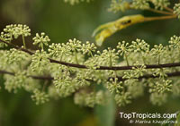 Schefflera sp., Schefflera, Brassaia, Dizygotheca, Heptapleurum  Click to see full-size image