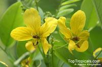 Senna surattensis, Senna sulfurea, Cassia glauca, Cassia surattensis , Glaucous Cassia, Scrambled Egg Bush  Click to see full-size image