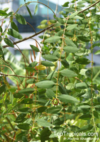 Sonneratia caseolaris, Rhizophora caseolaris, Sonneratia acida, Cork Tree, Crabapple Mangrove, Mangrove Apple  Click to see full-size image