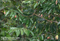 Stelechocarpus burahol, Burahol, Kepel Fruit  Click to see full-size image