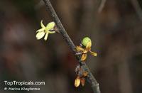 Stelechocarpus cauliflorus, Sageraea cauliflora, Sageraea  Click to see full-size image