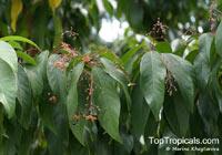 Sterculia lanceifolia, Sterculia roxburghii, Lanceleaf Sterculia  Click to see full-size image