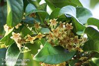 Sterculia lanceolata, Helicteres undulata, Sterculia balansae, Lanceleaf Sterculia  Click to see full-size image