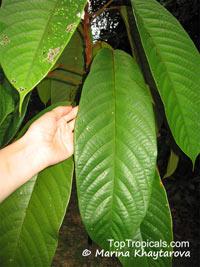 Sterculia megistophylla, Kelumpang Sarawak tree  Click to see full-size image