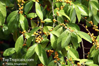 Suregada multiflora, False Lime, Limau Hantu   Click to see full-size image
