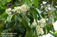 Syzygium grande, Eugenia firma, Eugenia grandis, Sea Apple  Click to see full-size image