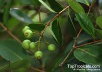 Syzygium muelleri, Eugenia muelleri, Myrtus obovata, Syzygium furcatum, Syzygium  Click to see full-size image