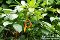 Tabernaemontana aurantiaca, Orange Milkwood  Click to see full-size image