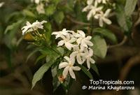 Tabernaemontana divaricata, Ervatamia divaricata, Ervatamia coronaria, Pinwheel Jasmine, Crape Jasmine, Crepe Gardenia  Click to see full-size image