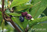 Terminalia foetidissima, Terminalia  Click to see full-size image