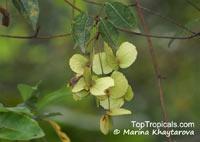 Terminalia ivorensis, Black Afara  Click to see full-size image