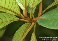Terminalia kaernbachii, Terminalia okari, Okari Nut, Yellow Terminalia  Click to see full-size image