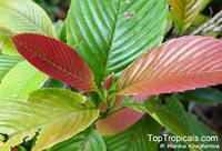 Tetracera fagifolia, Tetracera  Click to see full-size image