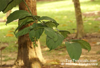 Utania volubilis, Fagraea racemosa, Fagraea morindaefolia, Fagraea volubilis, Fagraea scholaris, Fagraea congestiflora, Todopon Puok, False Coffee Plant, Kopi Hutan, Forest Coffee Plant  Click to see full-size image