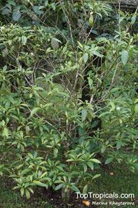 Voacanga sp., Voacanga  Click to see full-size image