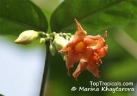 Wrightia dubia, Cameraria dubia, Wrightia cambodiensis, Starfish Flower, Red WrightiaClick to see full-size image