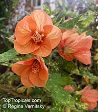 Abutilon pictum, Golden Rain Flowering Maple, Thompsons Flowering Maple, Bell Flower  Click to see full-size image