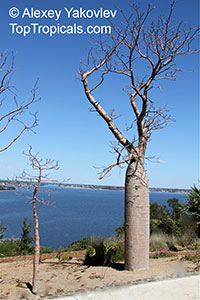 Adansonia gregorii, Boab, Baobab, Australian Bottle TreeClick to see full-size image