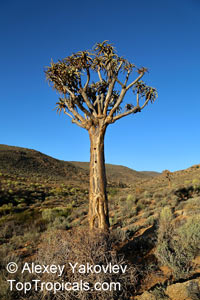 Aloidendron sp., Aloidendron, Quiver Tree