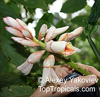 Alpinia zerumbet, Shell Ginger  Click to see full-size image