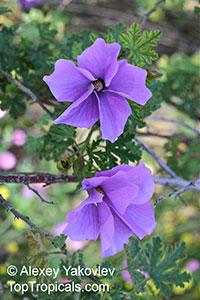 Alyogyne huegelii, Hibiscus geranifolius, Blue HibiscusClick to see full-size image