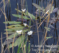 Aponogeton distachyos, Water Hawthorn, Vleikos, Cape Pond Weed, Water HyacinthClick to see full-size image