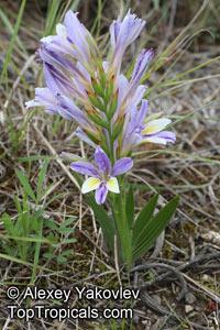 Babiana sp., BabianaClick to see full-size image