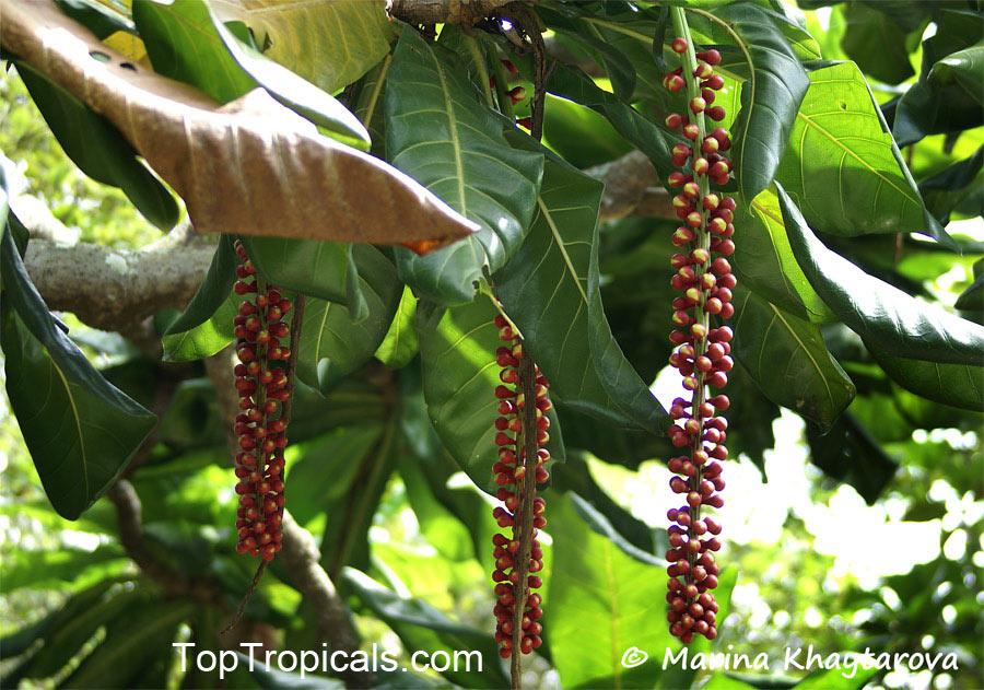 Barringtonia Edulis Cut Nut Pili Nut Toptropicals Com