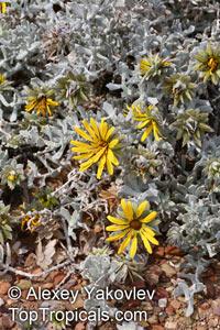 Berkheya cuneata, Rohria cuneata, Bietou  Click to see full-size image