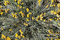 Conostylis candicans, Grey CottonheadClick to see full-size image