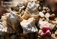Crassula sp., CrassulaClick to see full-size image