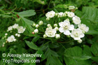 Crataegus sp., Blackthorn, Cockspur, Hawthorn, Washington Thorn  Click to see full-size image