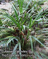 Dicranopygium stenophyllum, Dicranopygium  Click to see full-size image