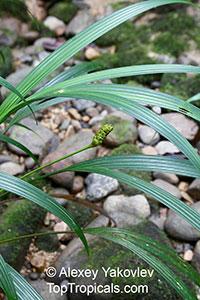 Dicranopygium stenophyllum, DicranopygiumClick to see full-size image