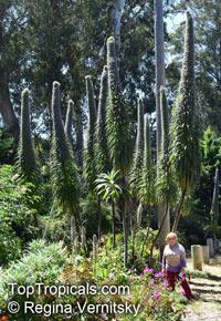 Echium pininana, Tree Echium, Pne Echium, Giant Viper's-bugloss  Click to see full-size image