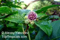 Eleutherococcus sessiliflorus., Panax sessiliflorus, Thorny Ginseng  Click to see full-size image