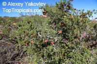 Erythrophysa alata, Fagara alata, Fagara  Click to see full-size image
