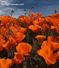 Eschscholzia californica, California Poppy, Golden Poppy