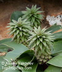 Eucomis sp., Pineapple Lily, Aloha LilyClick to see full-size image
