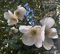 Eucryphia sp., Eucryphia, Leatherwood  Click to see full-size image