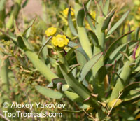 Euphorbia burmannii, Steenbokbos  Click to see full-size image