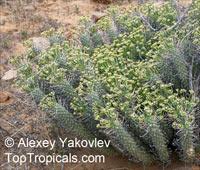 Euphorbia caput-medusae, Medusa's Head  Click to see full-size image