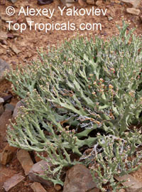 Euphorbia hamata, Deerhorn, Cow Milk Bush, Cow Power, Elephants Milk Bush  Click to see full-size image