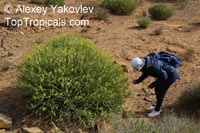 Euphorbia mauritanica, Pencil Milk Bush, Yellow Milk Bush, Golden Spurge  Click to see full-size image