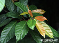 Ficus fistulosa, Yellow Stem Fig  Click to see full-size image